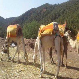 Balade chameau dans la vallee de l'Ourika