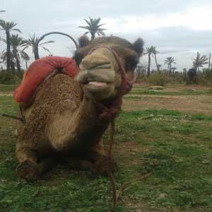chameau-Palmeraie-Marrakech