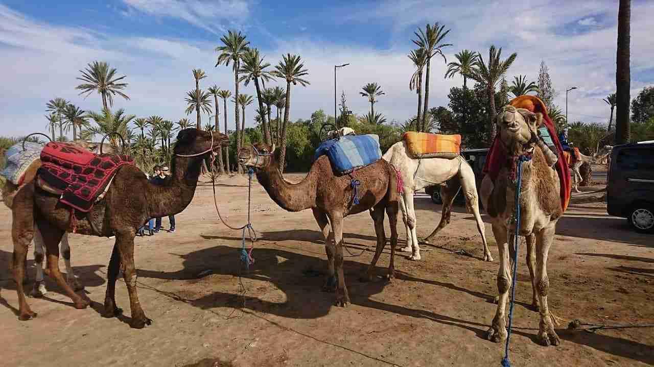 chameau-marrakech